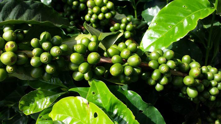 Cà phê tại vườn